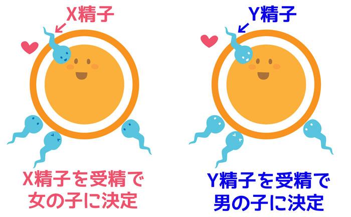 X染色体とY染色体