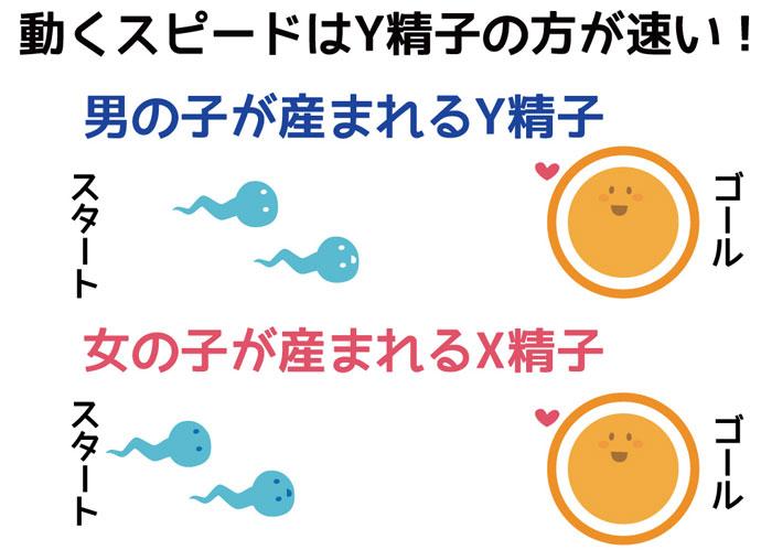動くスピードはY精子の方が速い